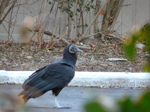 Injured Vulture (young Turkey Vulture?) in yard Dec. 31, 2013