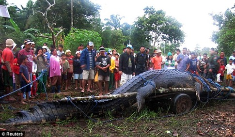 Villagers capture world's largest crocodile (which weighs one ton and is 21ft long) 03