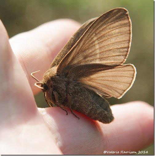Fox-Moth-5