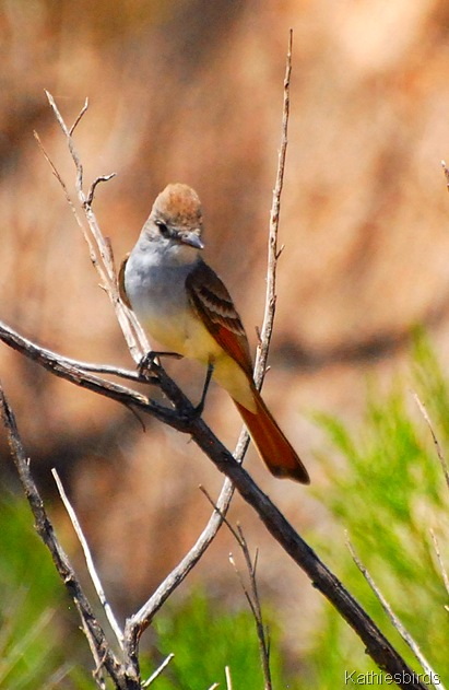 3. flycatcher-kab