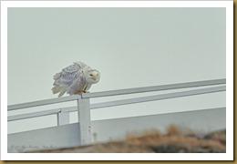 - Snowy hunchedROT_2754 January 07, 2012 NIKON D3S
