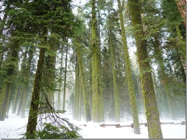 imagens das sequois do Parque Nacional Redwood (6)