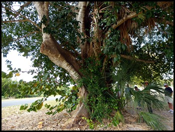 10f3 - Tree Walk - Huge Stangler Fig