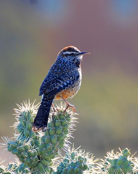 8. cactus wren-kab