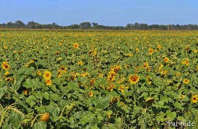 Sunflower Field near Crookston