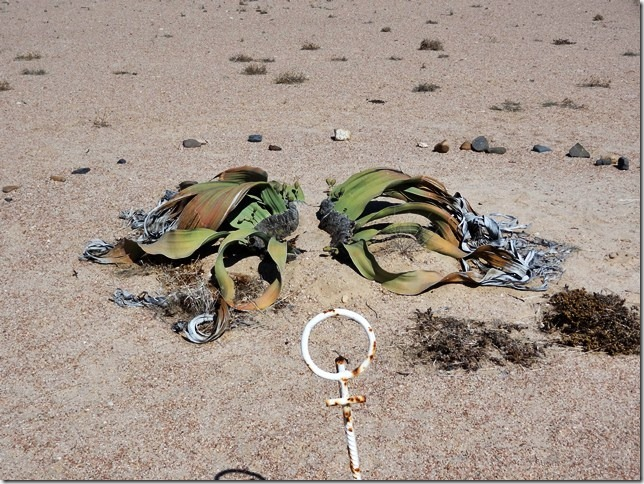 Welwitschia_DSC01482
