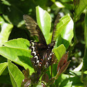 Broad-banded Swallowtail