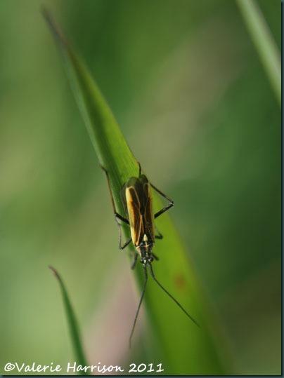 mirid-bug (2)