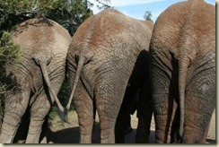 2575758-three-elefant-s-rear-ends[1]