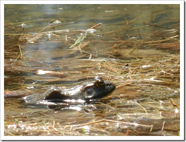 2013-04-23 Walnut Flats, VA  - Bull Frog (1)