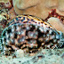Hawaiian Tiger Cowry - Photo (c) DavidR.808, some rights reserved (CC BY-NC-SA)