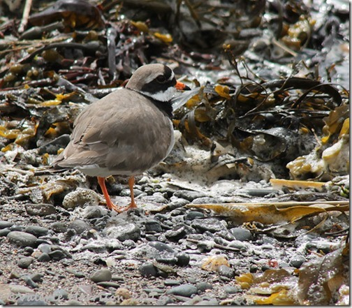 6-Ringed-plover