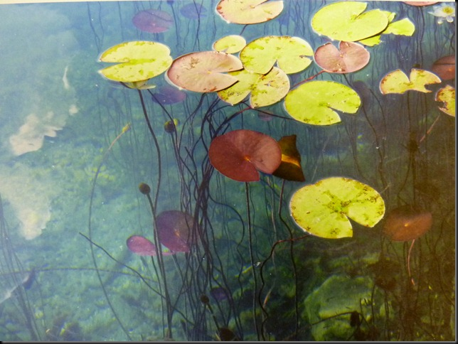 lily pads 001