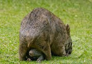 Amazing Pictures of Animals, Photo, Nature, Incredibel, Funny, Zoo, Common wombat, Vombatus ursinus, Marsupial, Mammals, Alex (10)