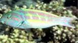 Polynésie girelle paon