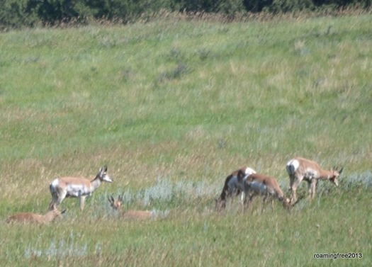 A group of Pronghorn