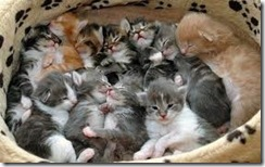 giant litter of kittens