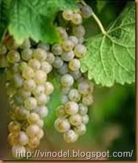 Сорт винограда Фетяска Леанка