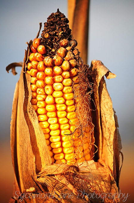 corn-w
