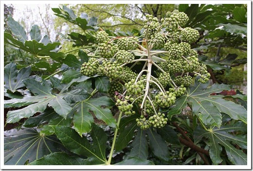 120317_Capitol_Park_Fatsia-japonica