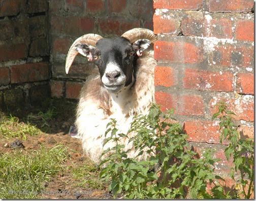 16-sheep