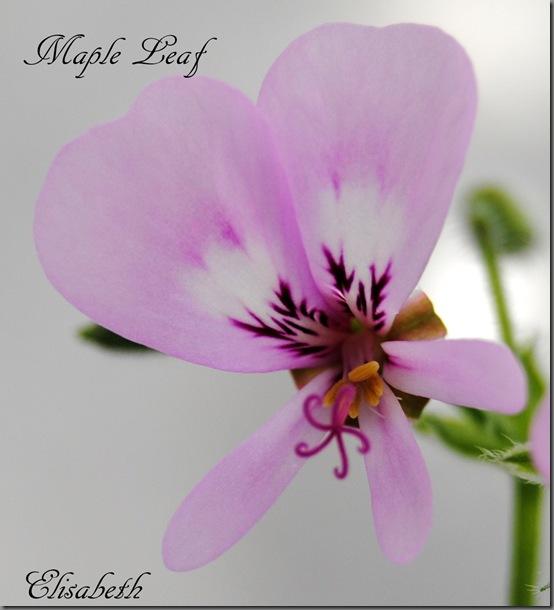Pelargonium mars 2012 037
