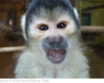 'Squirrel Monkey' photo (c) 2009, Karra Rothery - license: http://creativecommons.org/licenses/by/2.0/
