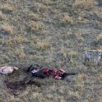 Hyäne mit einem frisch erlegten Gnu © Foto: S.Schlesinger | Outback Africa Erlebnisreisen