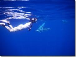 ハワイ島でドルフィンスイムでイルカと泳ぐ