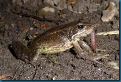 frog eating worm