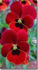 amor perfeito flor vermelha