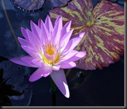 LAVENDER WATER LILY 3