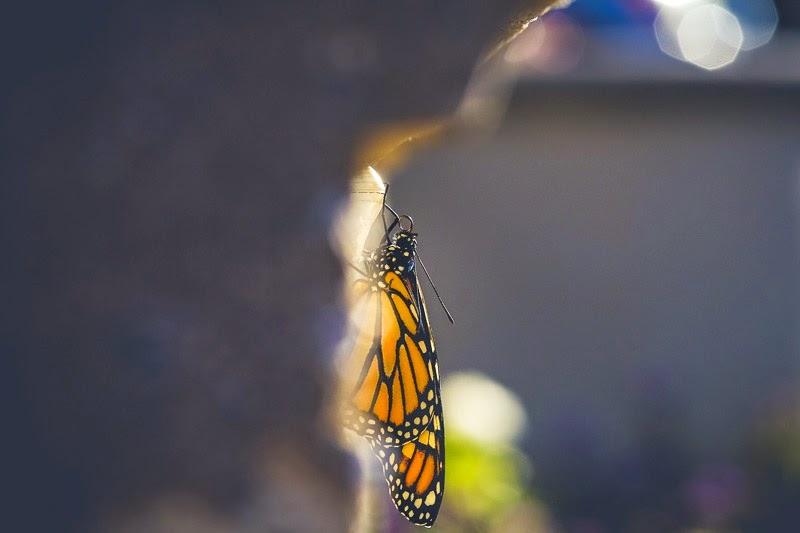 emerging monarchs-2