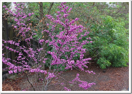 120313_Cercis-occidentalis_32