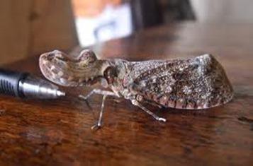 Amazing Pictures of Animals, photo, Nature, exotic, funny, incredibel, Zoo,,Peanut Bug Fulgora laternaria, Alex (1)