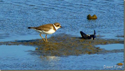 tern island birding_069
