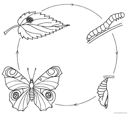 Ciclo de vida de las mariposas para colorear - Imagui