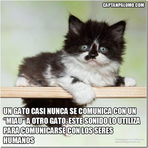 Un gato casi nunca se comunica con un miau a otro gato, este sonido lo utiliza para comunicarse con los seres humanos