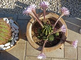 kaktus_blüte_02