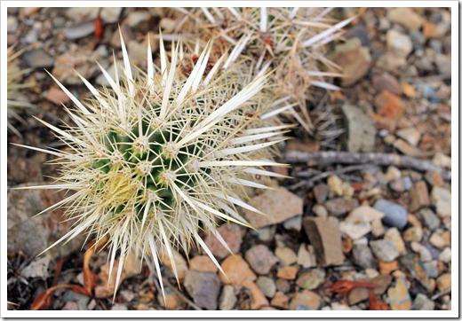120728_ArizonaSonoraDesertMuseum_Stenocereus-eruca_02