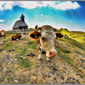 Cow by Simon Kovacic - Animals Other Mammals ( velika planina, pasture, church, slovenia, cow, cows )