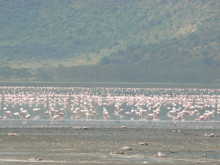 Safari: Flamingoes