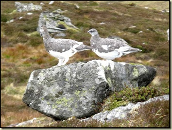 Ptarmigan on Beinn Pharlagain