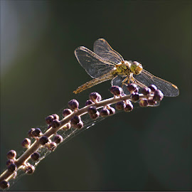 Dragonfly by Wendy Faber - Novices Only Macro
