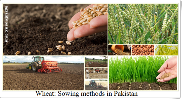 Wheat: Sowing methods in Pakistan: agrinfobank.com