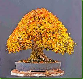 Acer beurgerianum 1