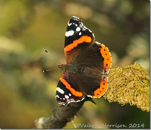 40-red-admiral