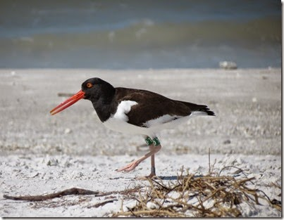 fort_desoto2_oystercatcher
