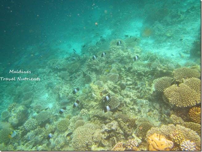 馬爾地夫 野餐島 浮潛 (12)