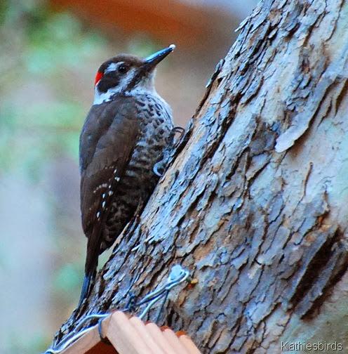 10. az woodpecker-kab